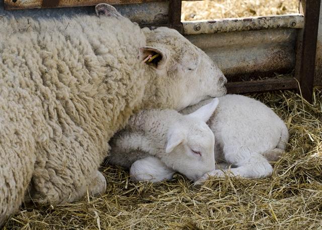 Lamb-and-ewe-asleep
