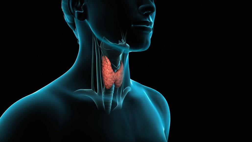 Posizione della tiroide nel corpo umano, all'interno del collo.