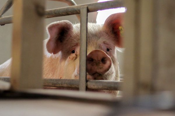 factory_farmed_mother_pig_in_cage