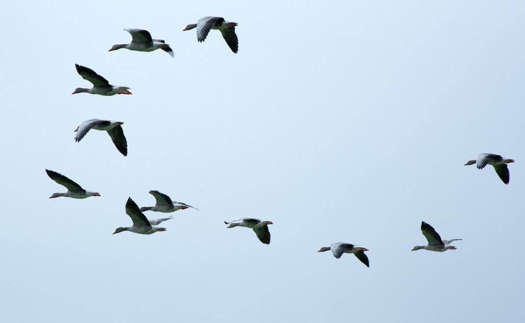 flock-of-birds-508039_1920