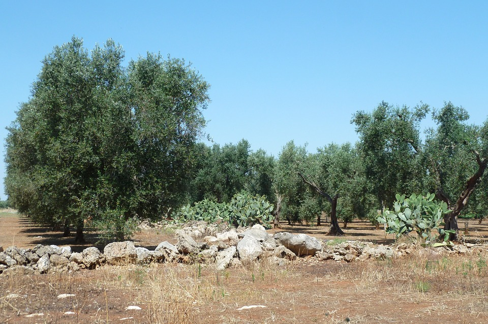 olive-332636_960_720