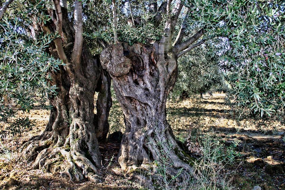 olive-tree-333973_960_720