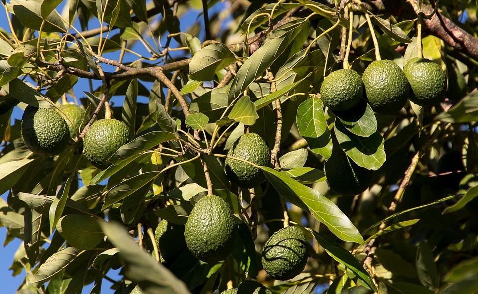 hass-avocado-3594376_960_720