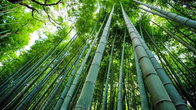 bambu-pianta-futuro-nuova-economia