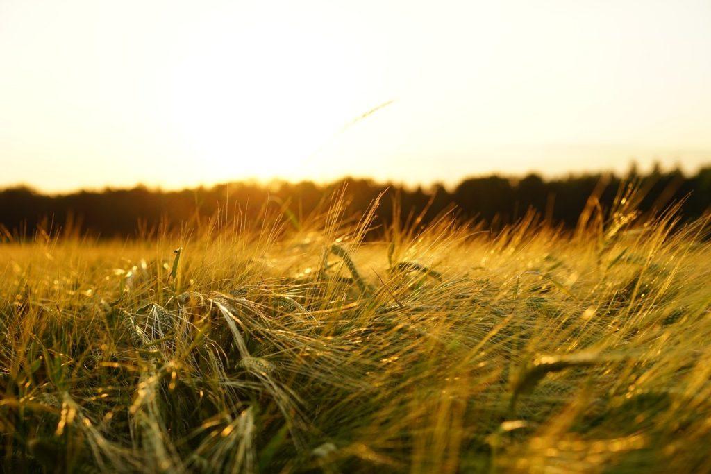 barley 1117282 1920