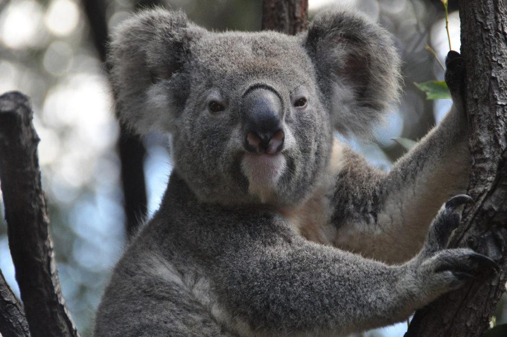 koala incendi australia 1