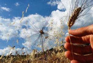 Cura, rispetto e un mulino a pietra: i cereali della Fattoria di Selvoli