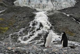 Le colonie di pinguini in Antartide sono calate fino al 77% in soli 50 anni