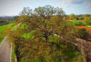 La Quercia Vallonea, l'albero più antico del Salento è il più amato in Italia
