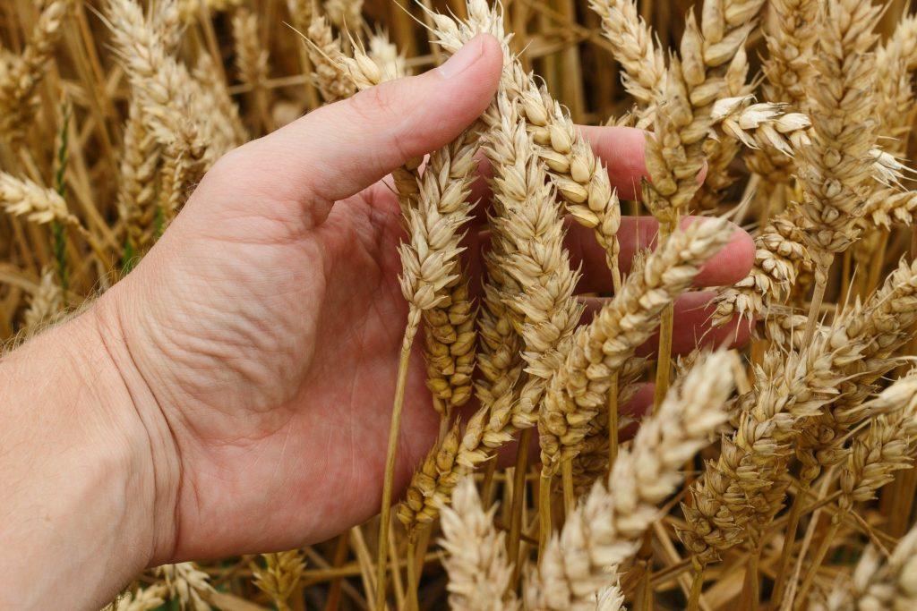 wheat 1530321 1920
