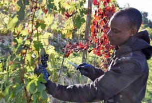 Migranti in campo per sostenere l'agricoltura rimasta senza manodopera