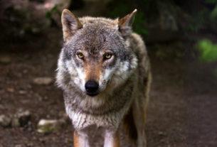 Allevatori che ballano coi lupi (e coi cani da guardiania)