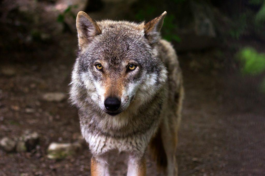 wolf 635063 1280