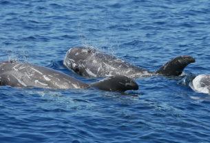Il riavvistamento del delfino grampo nel ponente ligure