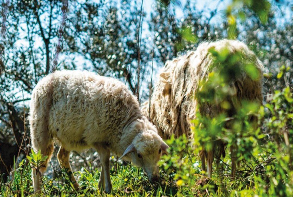 ORTOBEE pecore 1