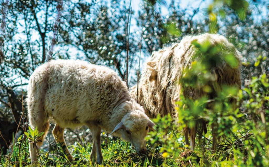 ORTOBEE pecore 2