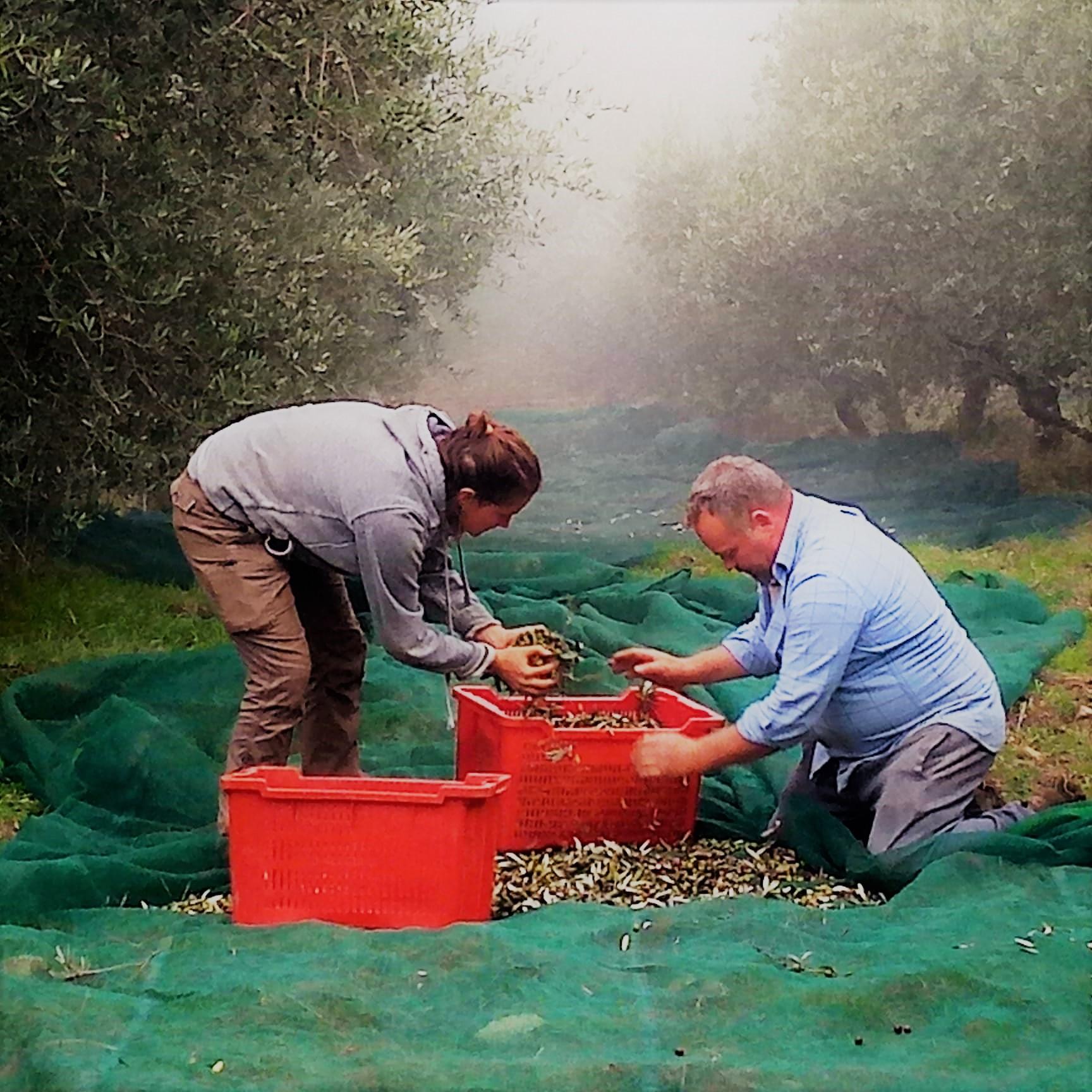 Cerchiamo aiuto per la raccolta delle olive in un'azienda biologica in Umbria