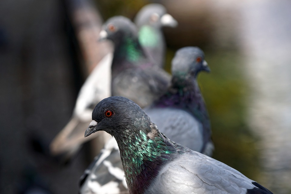 pigeons 4509124 960 720