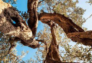 Frantoio Ghiglione: la trasformazione di un uliveto  da tradizionale a biodinamico
