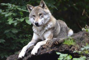 """L'ENPA contro le Province Autonome: """"Basta abbattere i lupi"""""""