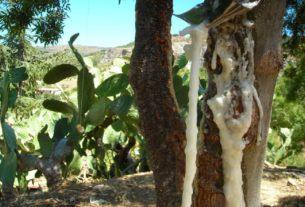 Manna da frassino delle Madonie, l'antica coltura dalle proprietà incredibili