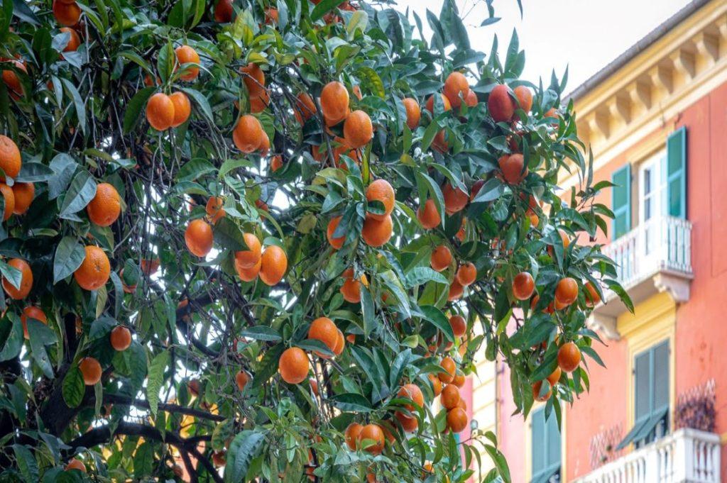 alberi arance spezia