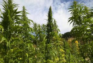 """La storia di Federico: """"Coltivo la cannabis terapeutica per alleviare i miei problemi di salute"""""""