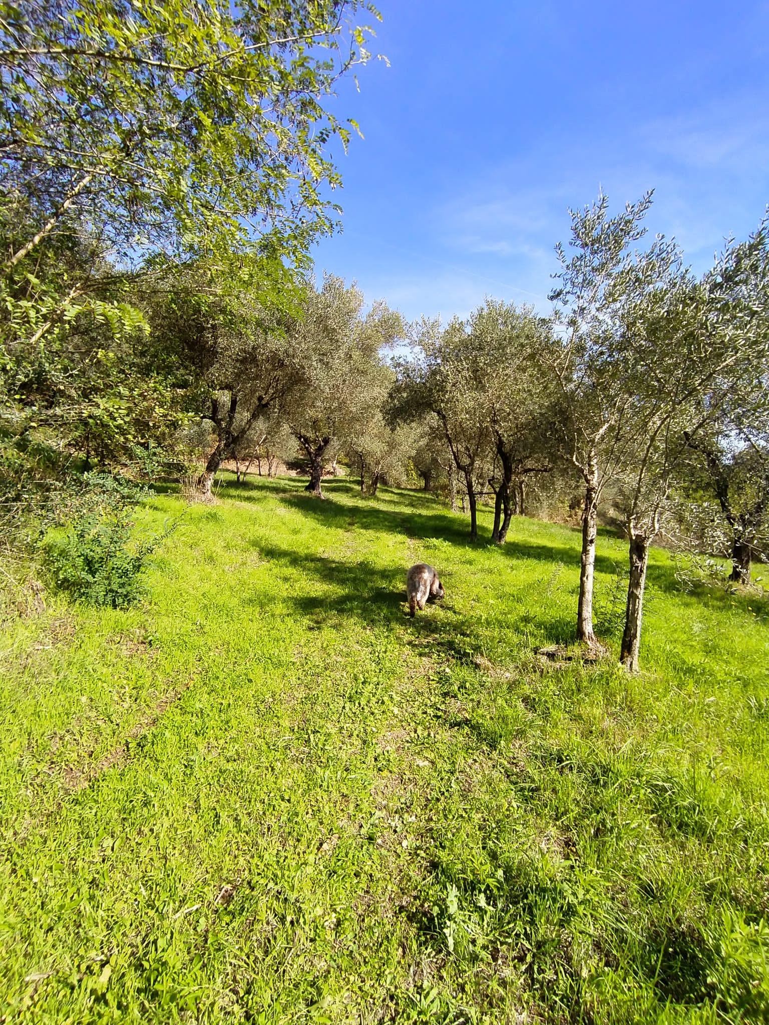 Offro uliveto e spazi per allevamento e coltivazioni varie più due ruderi da ristrutturare
