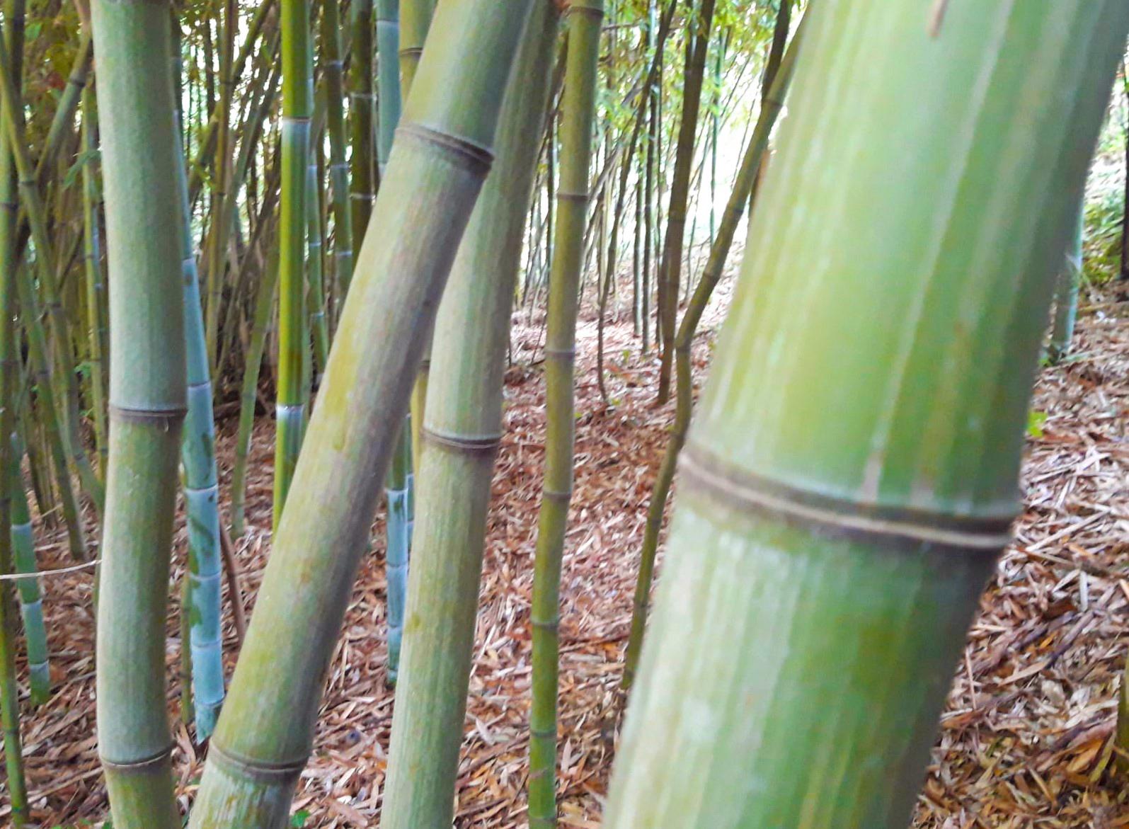 bambu pianta futuro nuova economia 1568274169